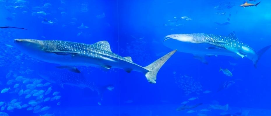 沖縄本島 美ら海水族館